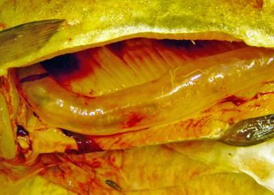Cystidicola farionis (multiple nematodes) infestation in swim bladder of rainbow trout