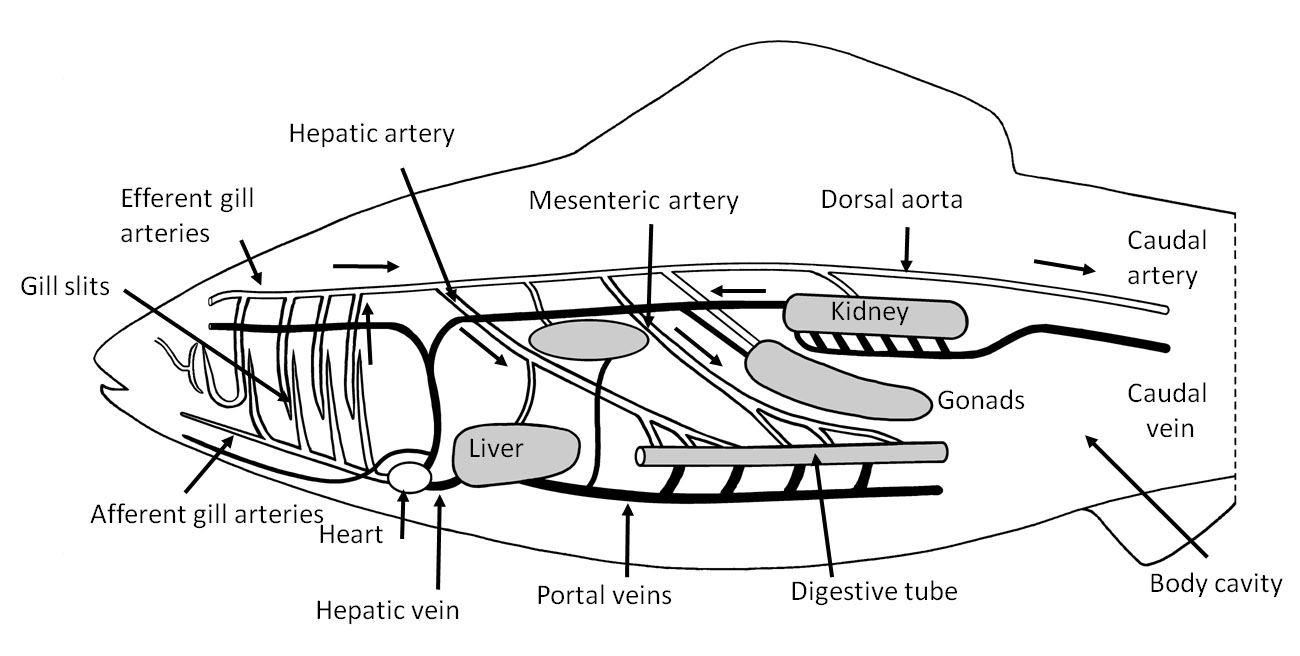 simple diagram of respiratory system