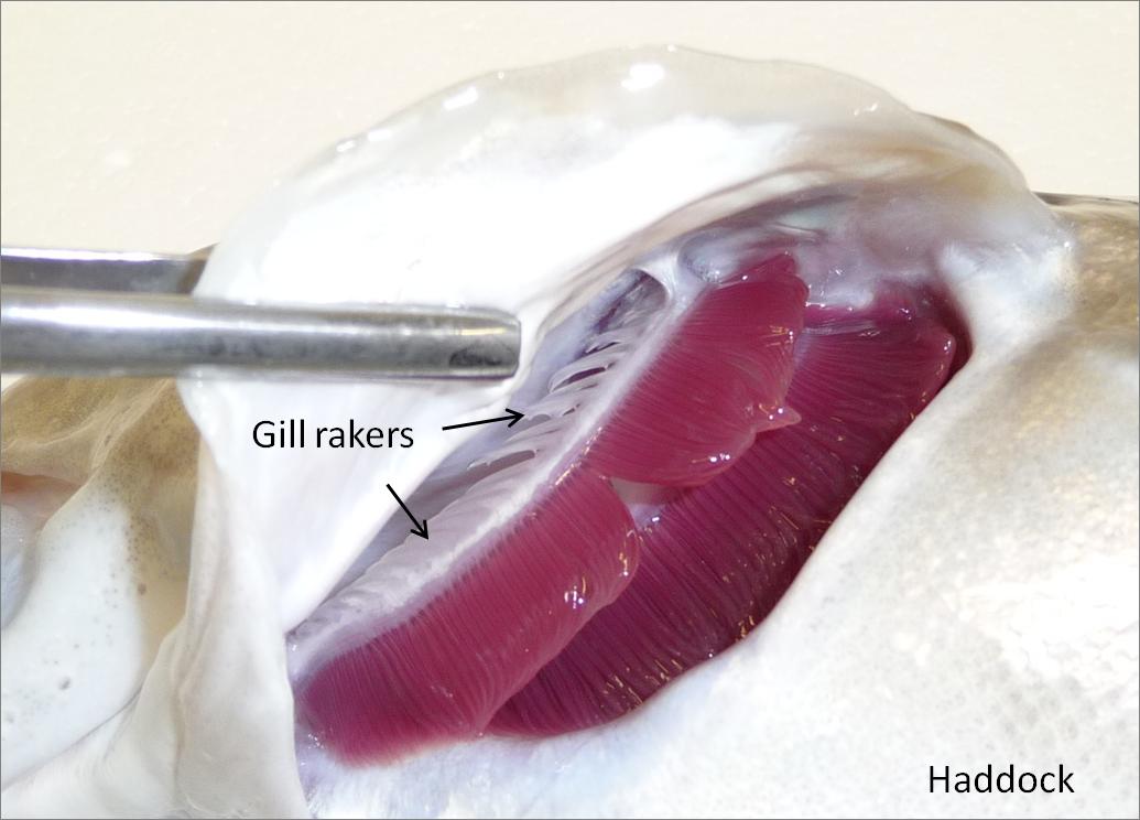 Digestive Fig 3 rakers