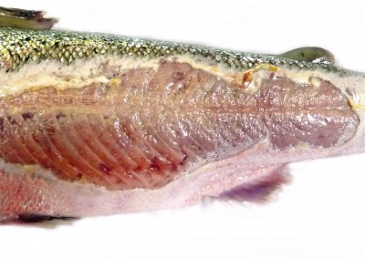 Focal extensive deep ulcer with healed margins attributed to infection by Flavobacterium sp. in rainbow trout (courtesy of FHI)