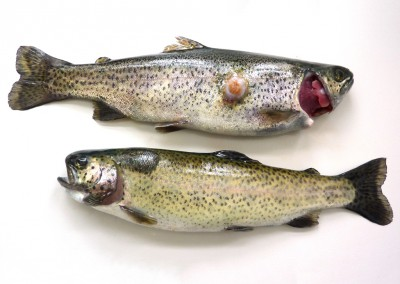 Multiple raised skin lesions. Note superficial ulceration and scale loss, consistent with liquefactive necrosis of dermis and musculature due to Aeromonas salmonicida infection in rainbow trout.