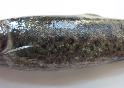 Multiple whitish nodular lesions diffusely distributed over whole body consistent with Ichthyophthirius multifiliis infection in rainbow trout.